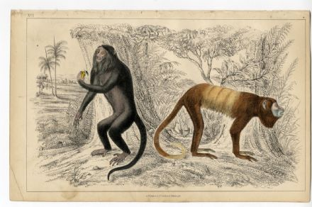 1851 Antique Print HOWLER MONKEY Royal Golden Tailed OLIVER GOLDSMITH Victorian